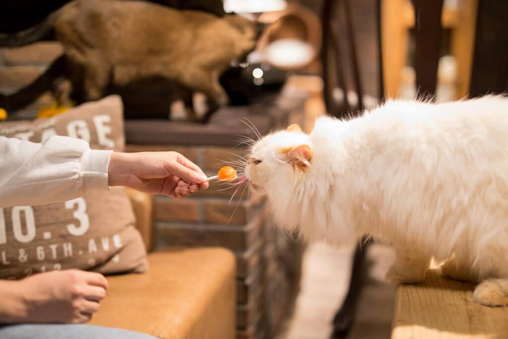 飴を食べる猫