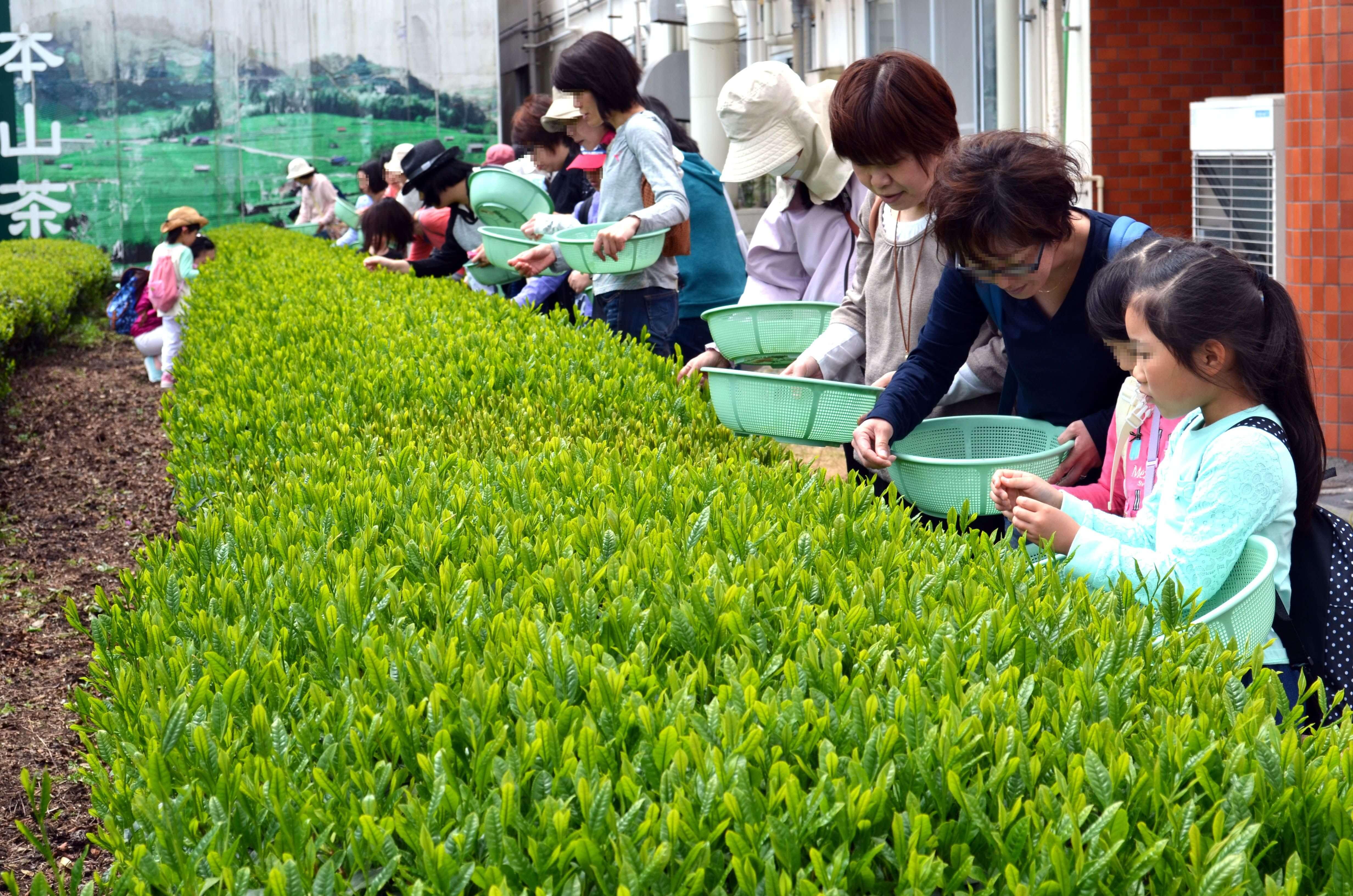 新茶摘み体験ツアー1