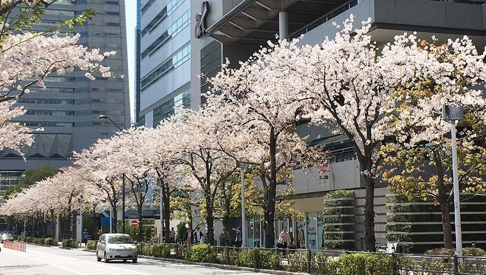 横浜ベイホテル東急 さくら日和4
