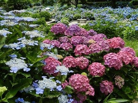 舞鶴自然文化園 アジサイまつり あじさい 紫