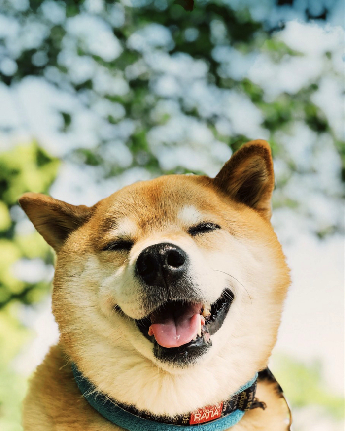 Maru the Shiba Inu Special Fair to be Held at Shibuya LOFT | MOSHI