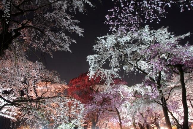 kyoto 京都 桜 お花見 Cherry blossoms, sakura_1
