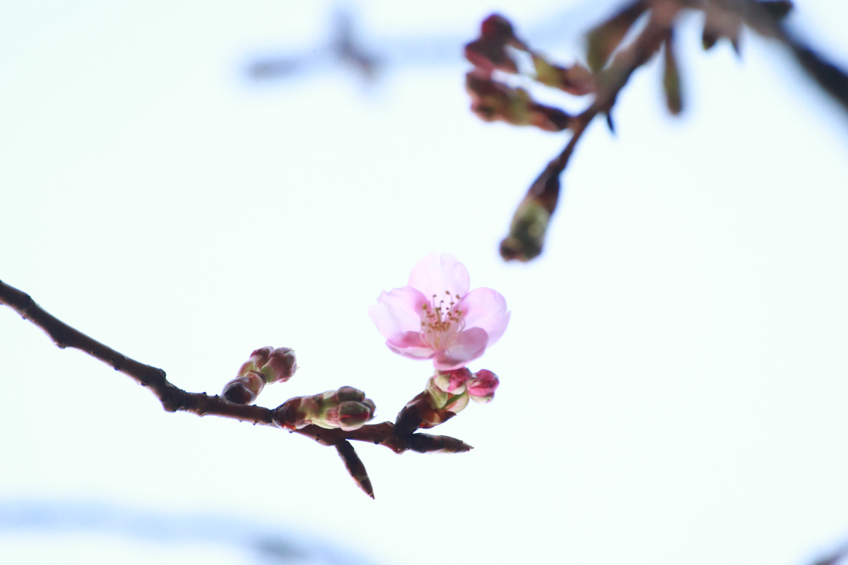 八芳園 さくら sakura cherry blossoms 桜2