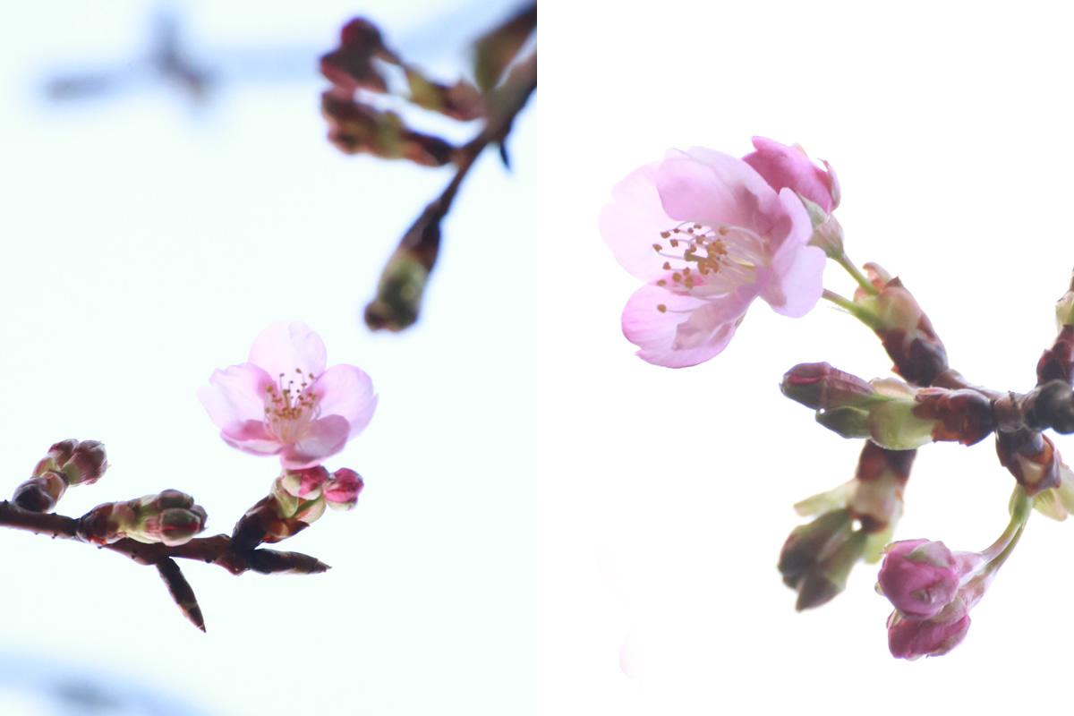 %e5%85%ab%e8%8a%b3%e5%9c%92-%e3%81%95%e3%81%8f%e3%82%89-sakura-cherry-blossoms-%e6%a1%9c-2