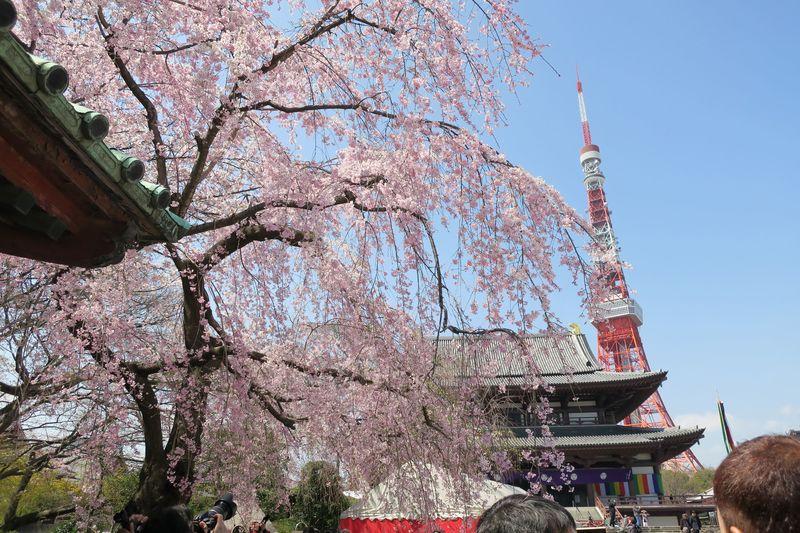 Shiba Park Hotel Cherry Blossoms 芝公園ホテル
