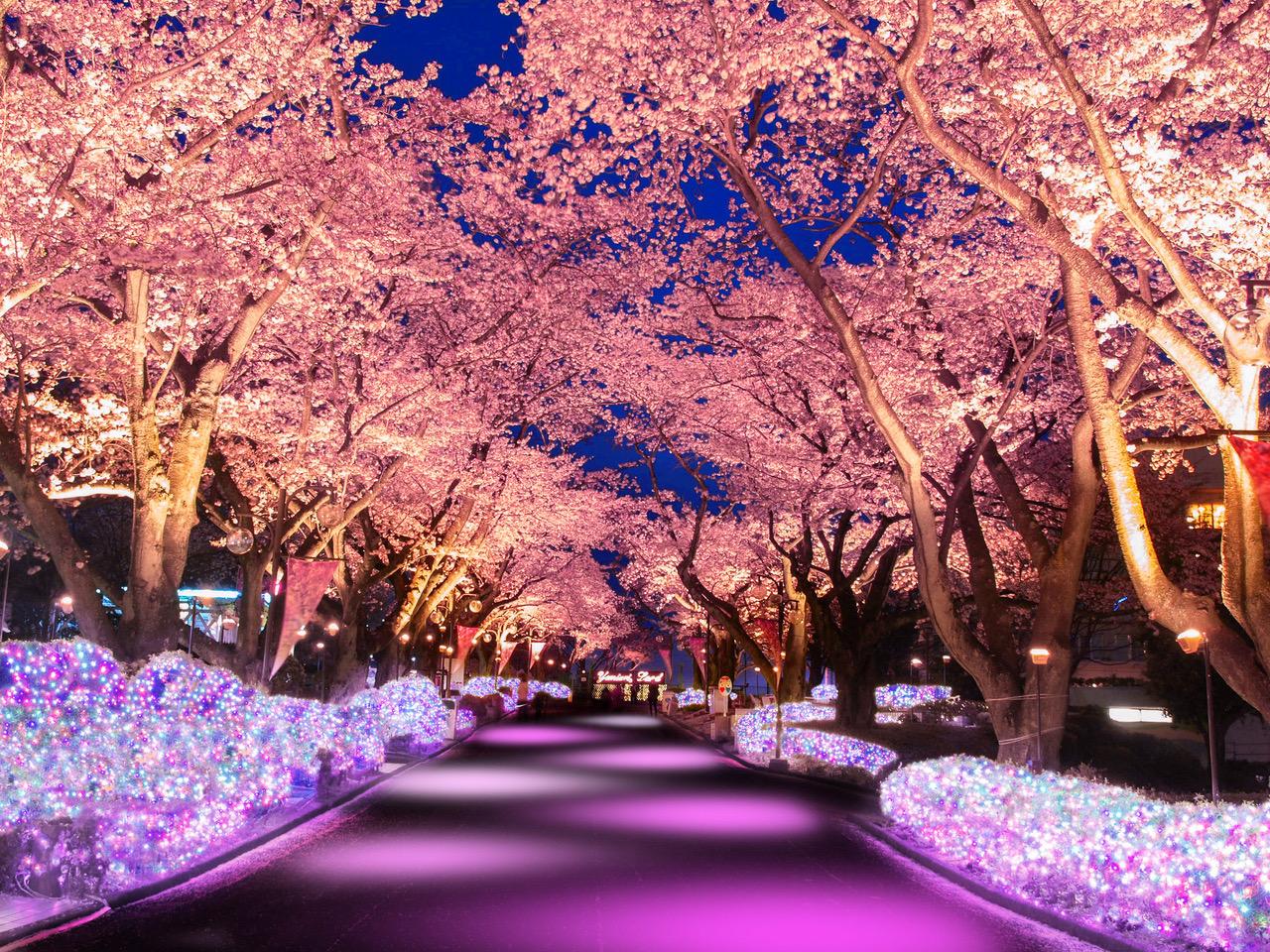 よみうりランド yomiuri land 桜 sakura illumination イルミネーション