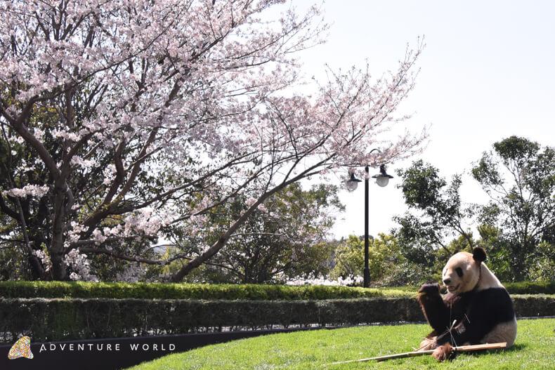 アドベンチャーワールド_ジャイアントパンダ「永明(えいめい)」とお花見_adventure_world_giant_panda_eimeito_ohanami_cherry_blossom
