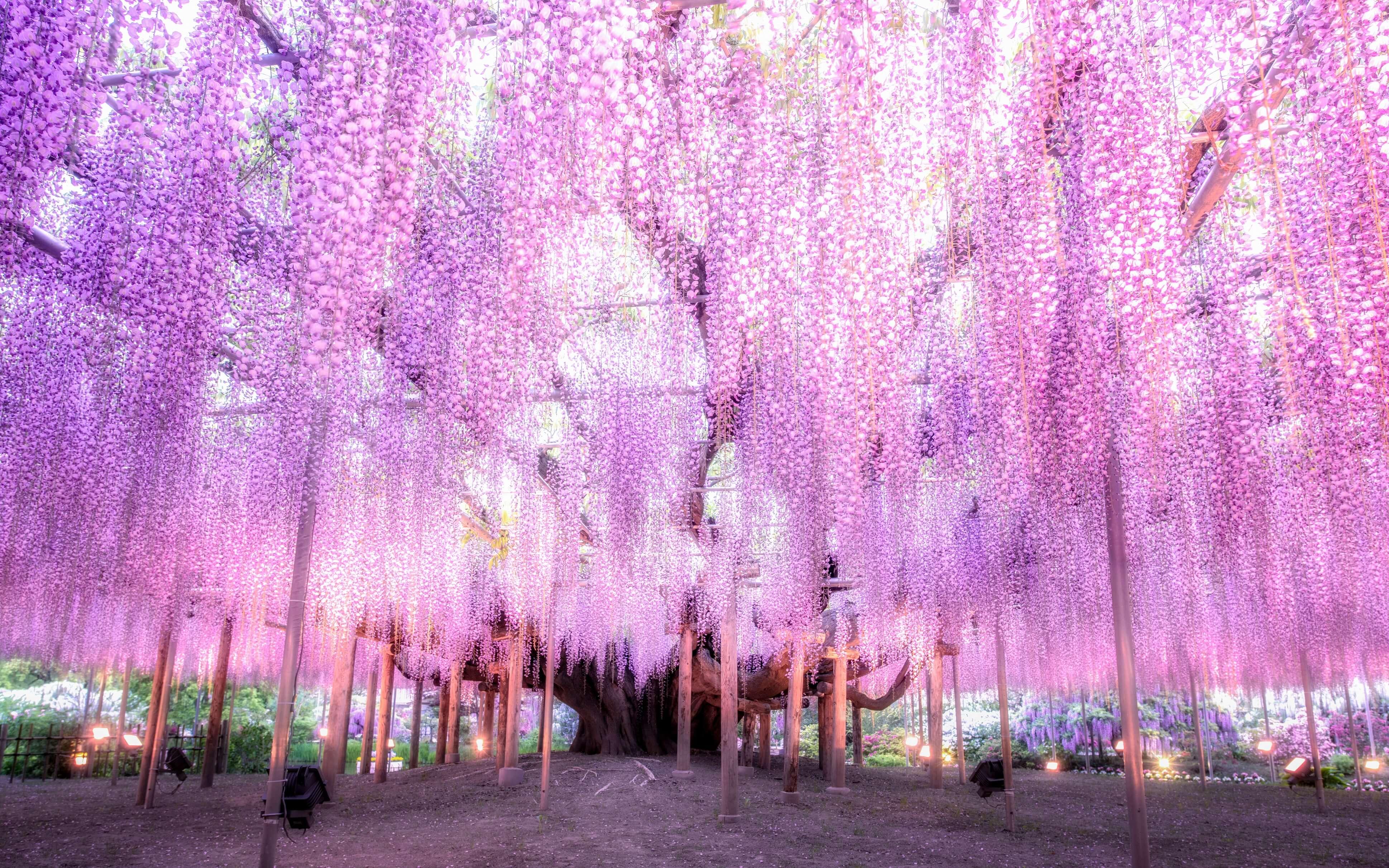 大藤 ofuji あしかがフラワーパーク ふじのはな物語~大藤まつり2019~ ashikaga flower park fujino hana monogatari ofuji matsuri 2019 1main1sub4