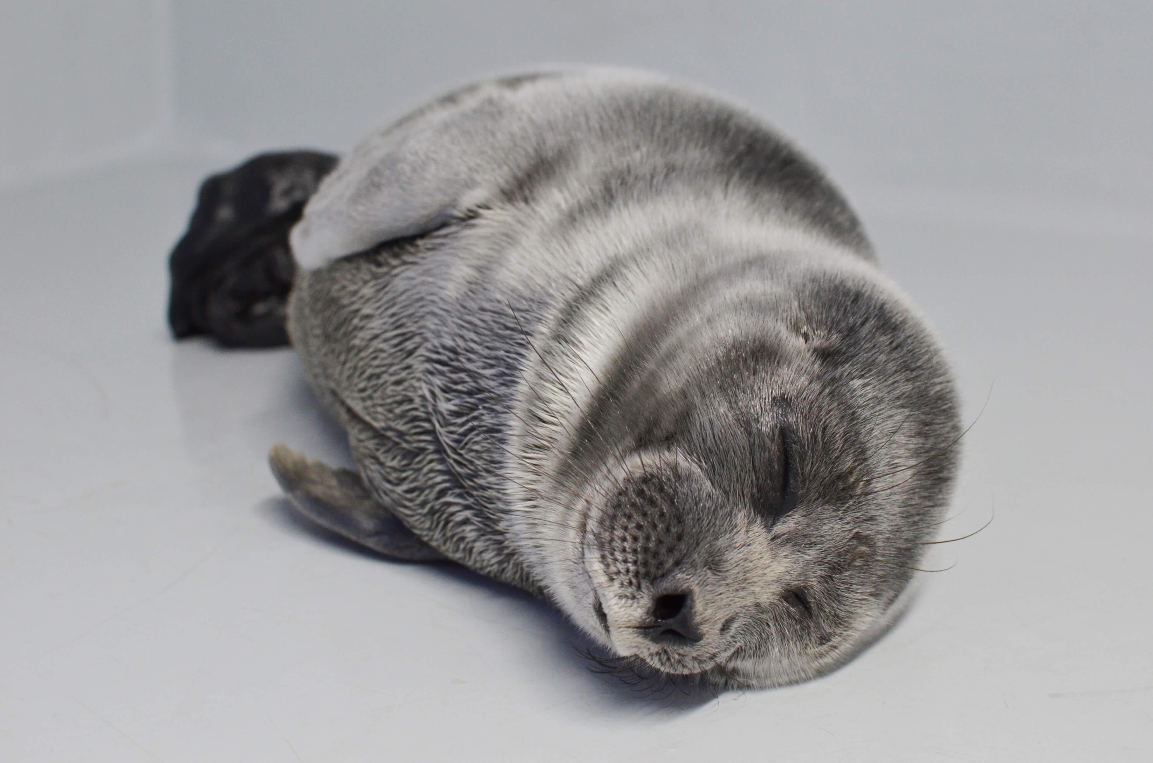 サンシャイン水族館 バイカルアザラシの赤ちゃん 愛称公募 sunshine aqurium bical sea mammul baby namemain