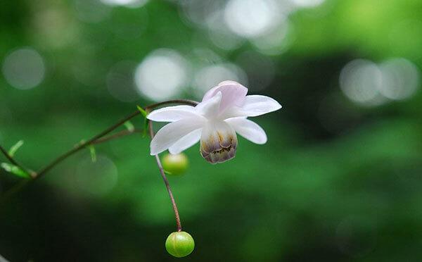 レンゲショウマ 六甲高山植物園