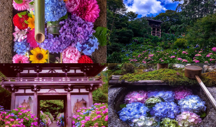 京都-紫陽花-観光-Kyoto-ajisai-sightseeing