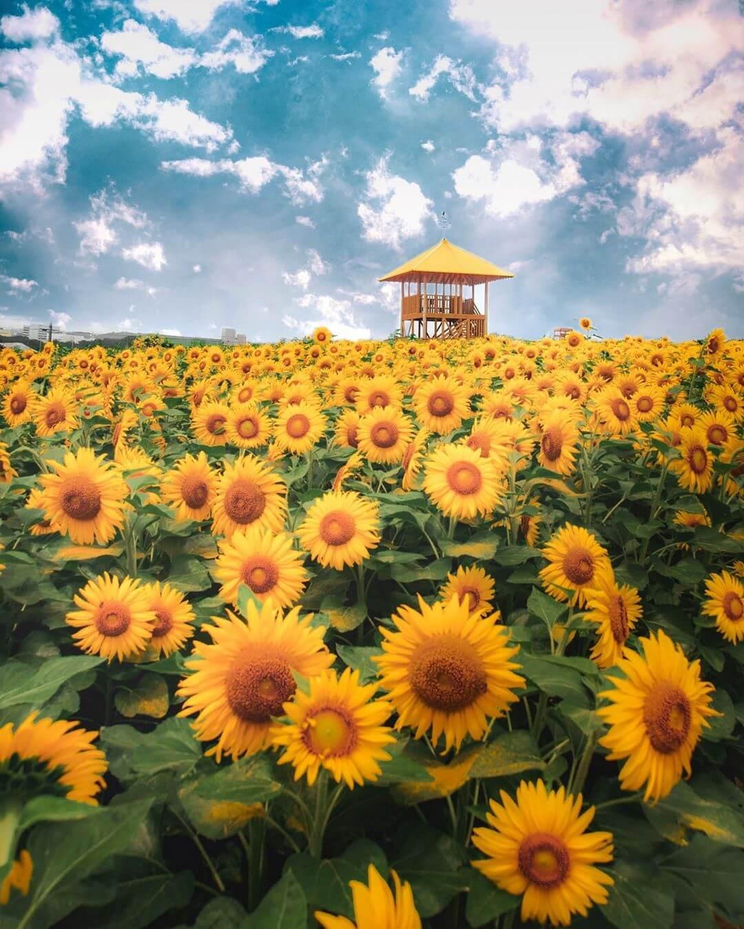 愛知牧場 ひまわり畑 観光スポット Aichi Sunflower sightseeing_Aichi Farm