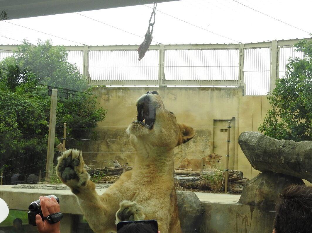 東武動物公園 Tobu animal zoo ライオンガイド