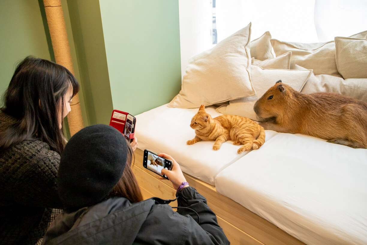 Capy Neko Cafe Japan S First Cat And Capybara Cafe Opens In Tokyo Moshi Moshi Nippon もしもしにっぽん