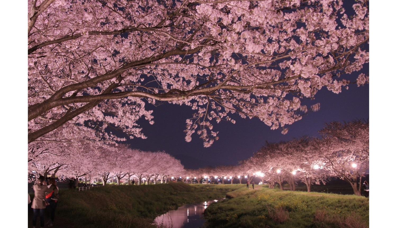 Cherry Blossoms Chikuzen Fukuoka さくら福岡県筑前町 櫻花福岡県築前町