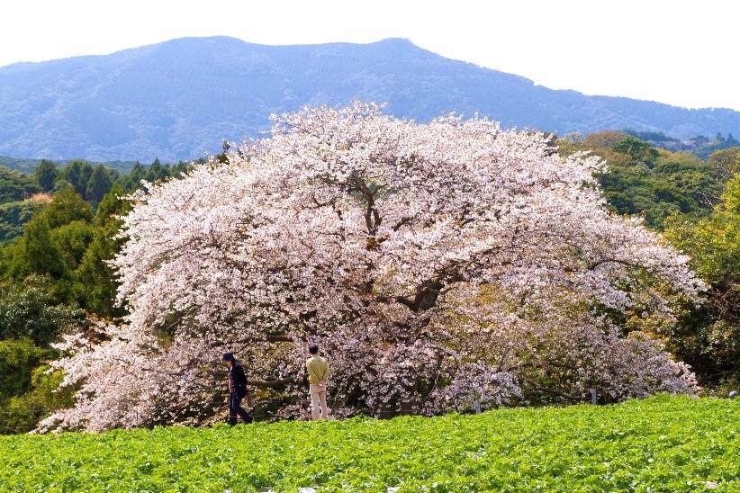 長崎県花見 長崎縣櫻花 Cherry Blossoms Nagasaki