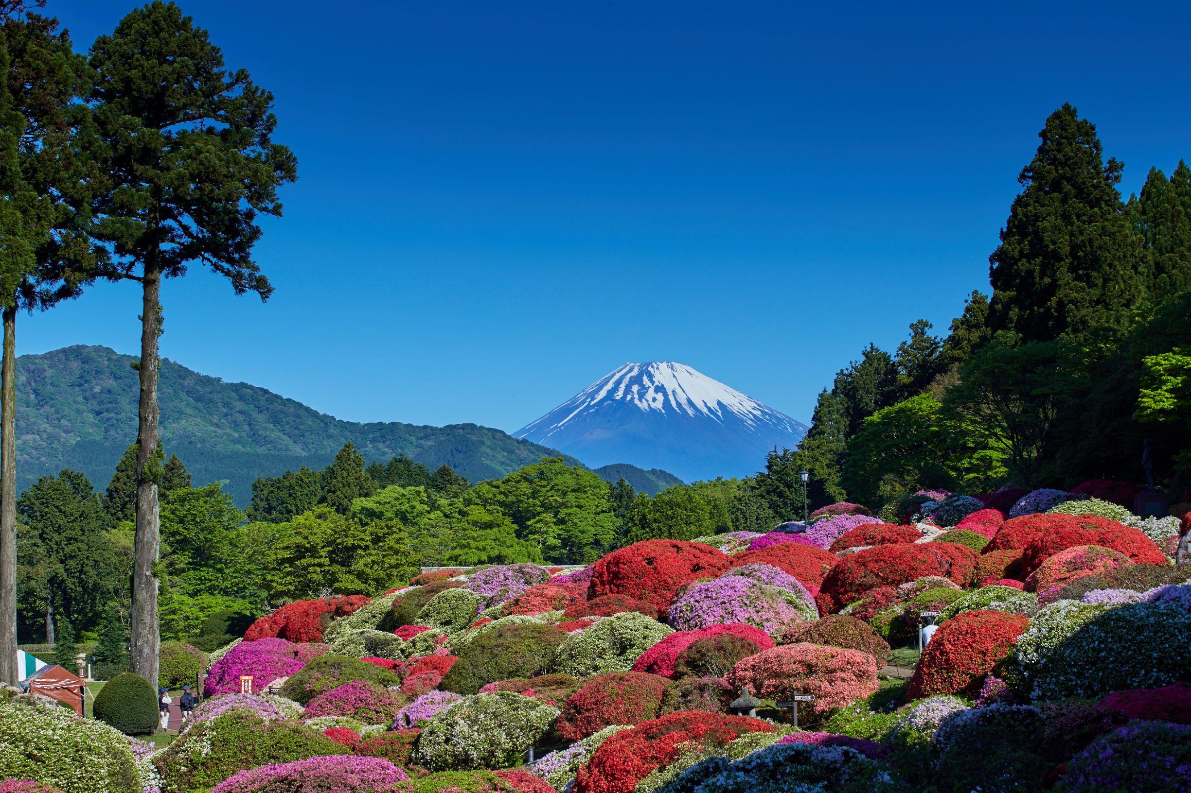 箱根 さくら Cherry Blossoms Hakone 箱根櫻