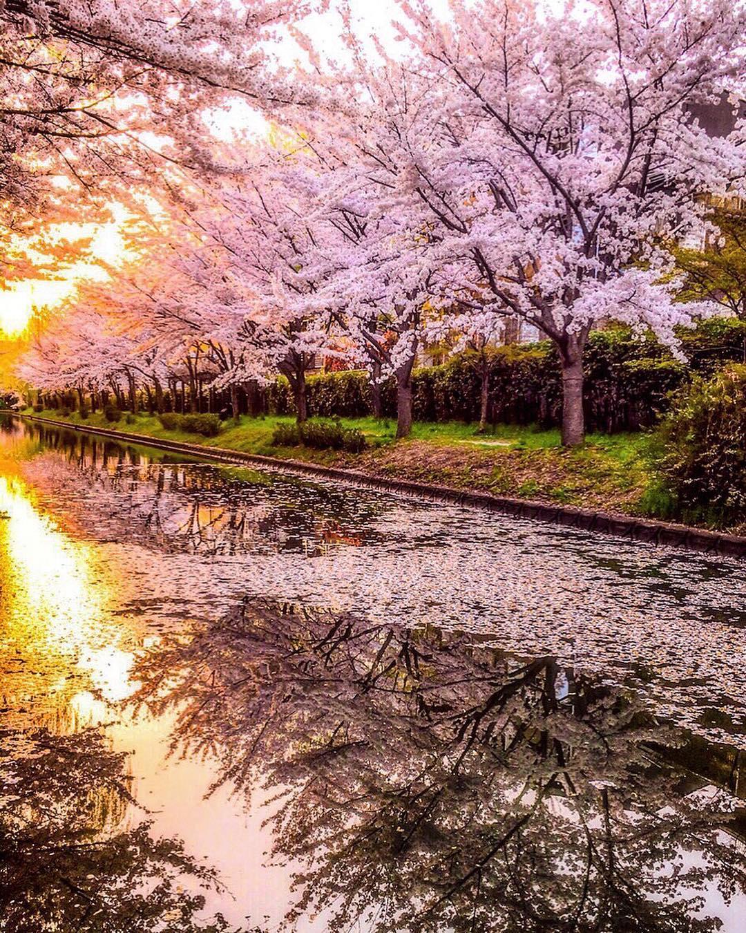 Macchan sakura まっちゃん 桜 Macchan 櫻花_8
