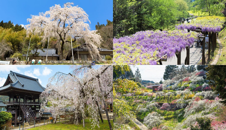 愛知県豊田市お花見-Toyota-Aichi-Flower-Viewing-Spots愛知豐田賞櫻花