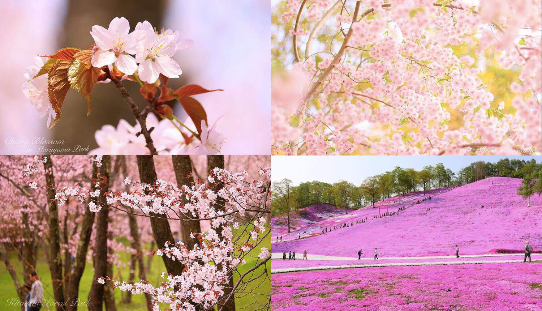 北海道-さくら-Hokkaido-Cherry-Blossoms-北海道櫻花